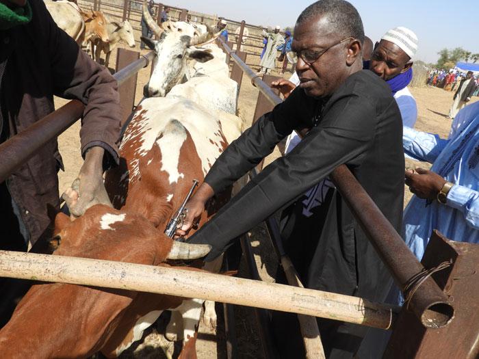 Dr Abdou Jonathan de MCA-Niger en train de vaccin une vache