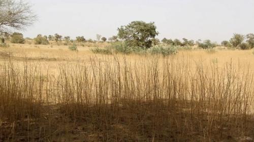 Vue d'un des sites à restaurer envahi par le Sida Cordifolia.