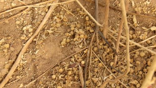 Gousses de Sida Cordifolia, renfermant les graines.